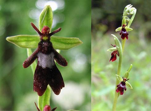 Resultado de imagem para orquideas mais raras