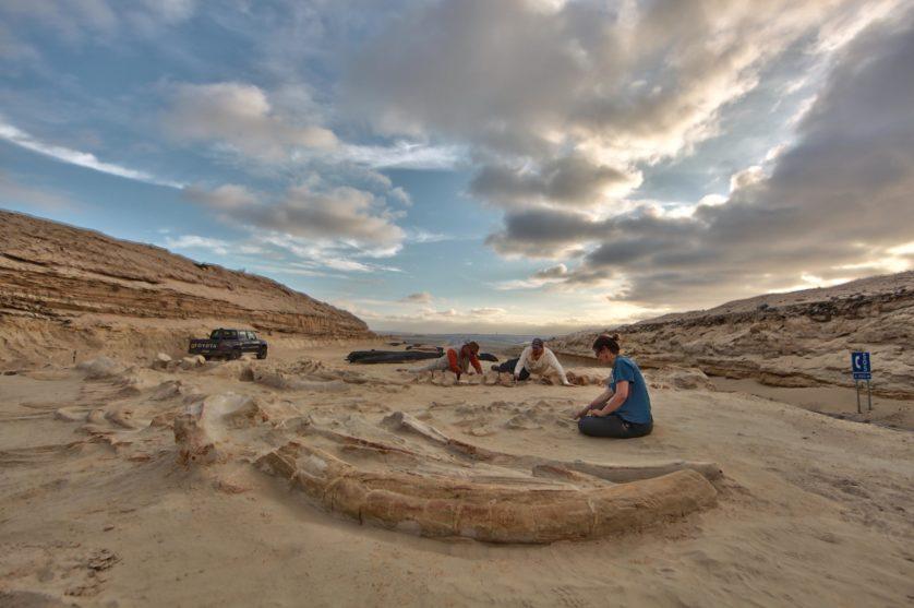 maior conjunto de fósseis de mamíferos marinhos 3