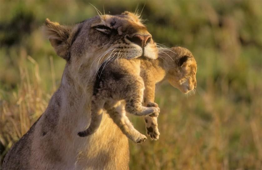 Leoa carrega seu filhote. Os filhotes de leão são criados juntos, às vezes comunitariamente. Foto por: Karsten Lehmkuhl