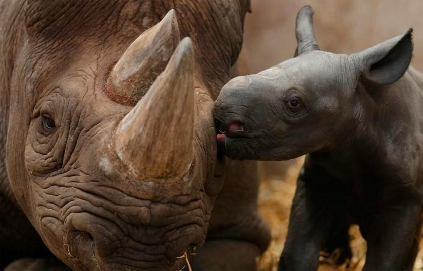 Bebê rinoceronte dá um beijo à sua mãe. Rinocerontes fêmeas gestam seus filhotes por cerca de 15 a 16 meses, e dão à luz a um animal a cada dois ou três anos. Foto por: Phil Noble