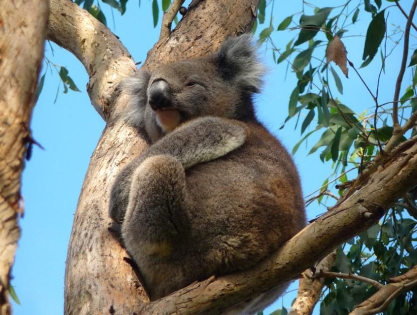 tower-hill-koala-in-tree_wm