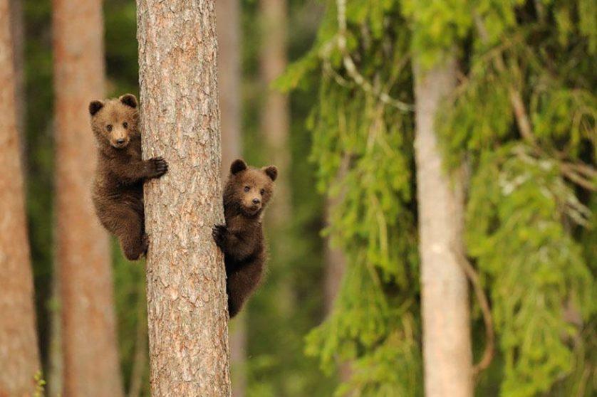 filhotes de ursos 12