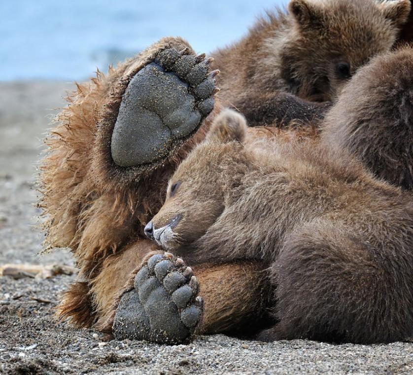 filhotes de ursos 16