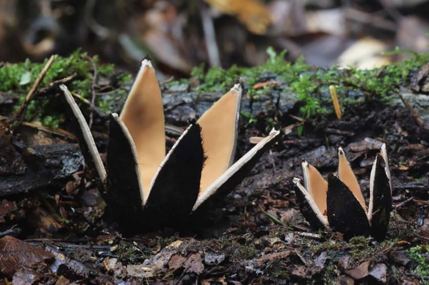 Chorioactis cogumelos
