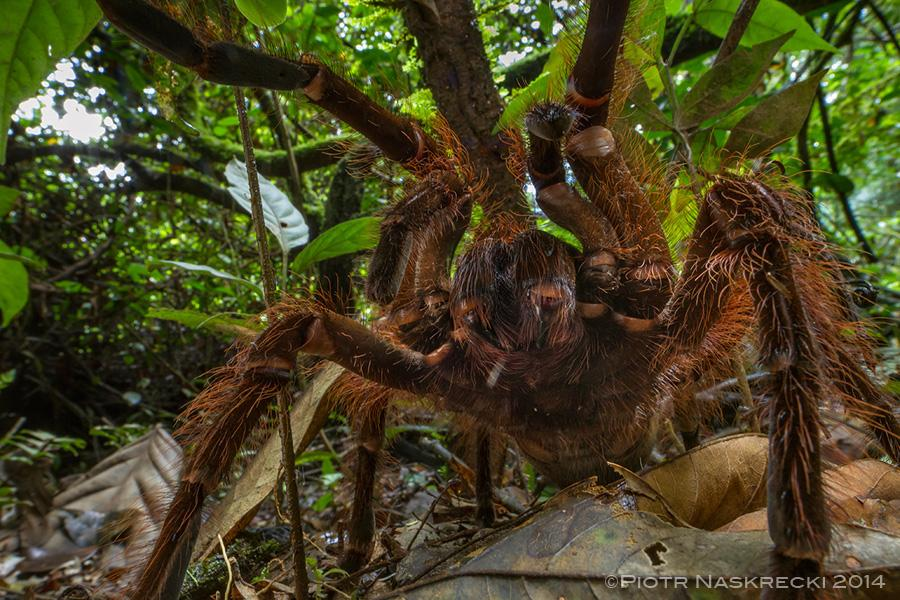 Resultado de imagem para aranha-golias