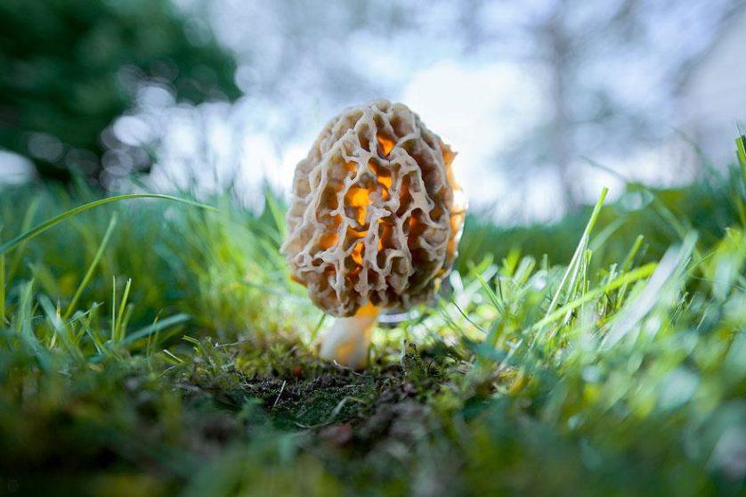 foto de cogumelos mágicos Morchella Esculenta