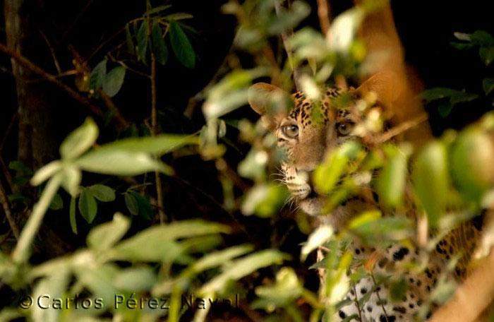 fotografo de vida selvagem carlos perez naval (15)