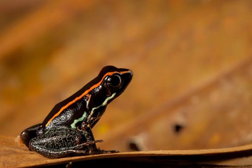 sapos anfibios raros 9
