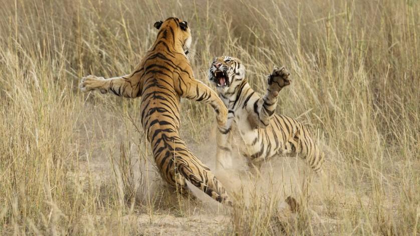 """""""Luta brincalhona entre dois tigres jovens"""" recebeu menção honrosa na categoria Natureza, feita por Archna Singh no Parque Nacional de Bandhavgarh, Madhya Pradesh, na Índia"""