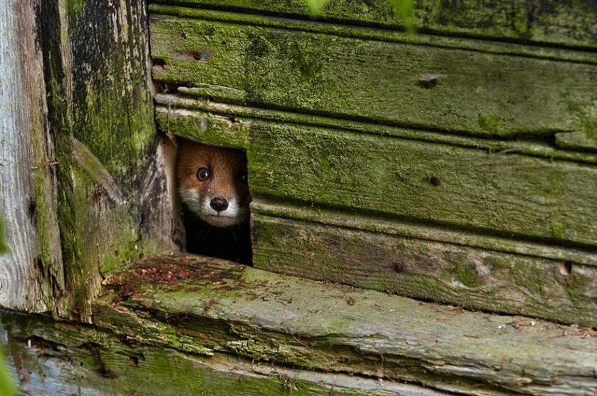 raposas 2-