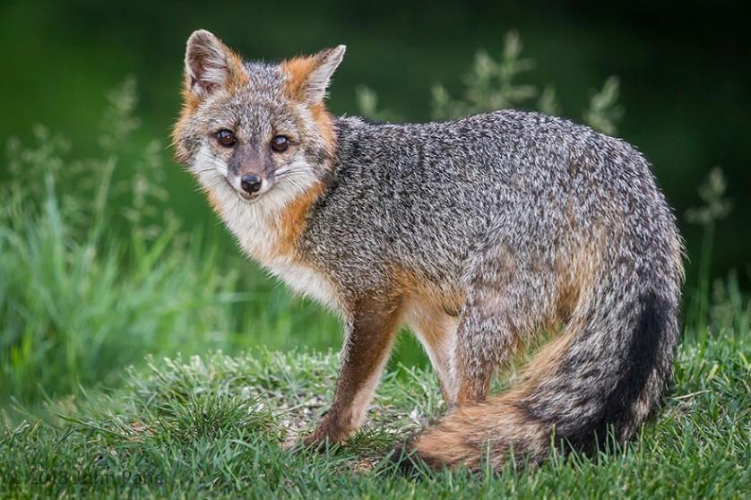 raposas 4-