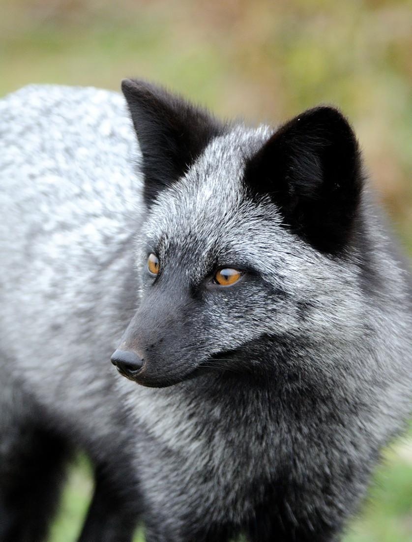 raposas 5-
