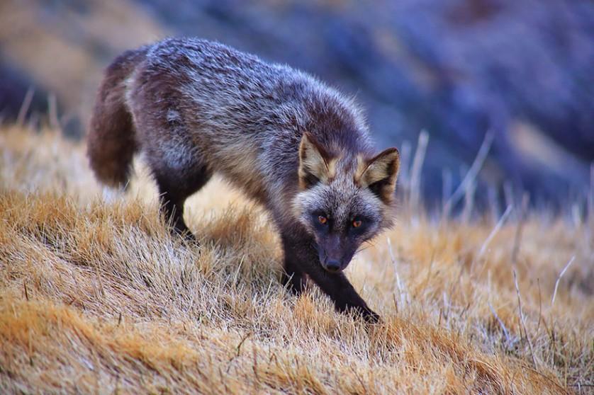 raposas 5
