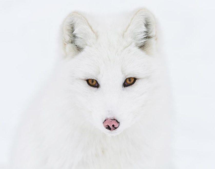 raposas 6