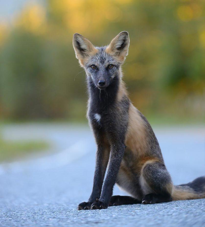 raposas 7