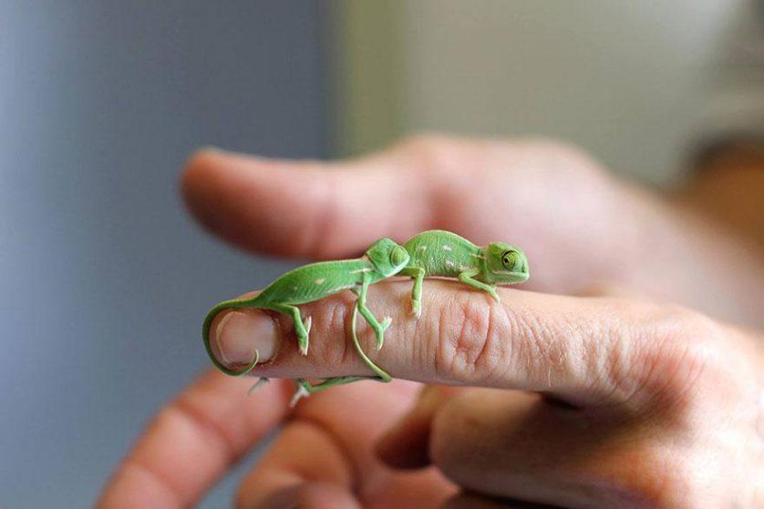 Chameleons Beverage (4)