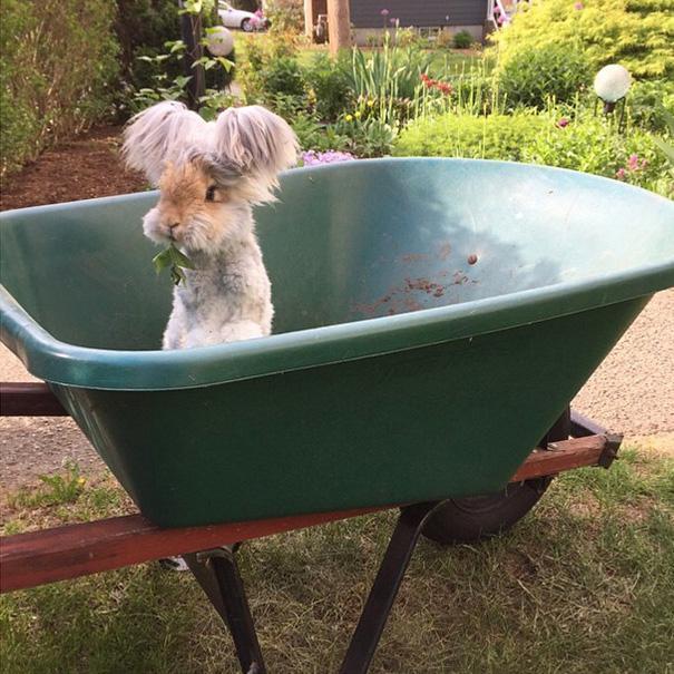 wally coniglio d'angora (3)