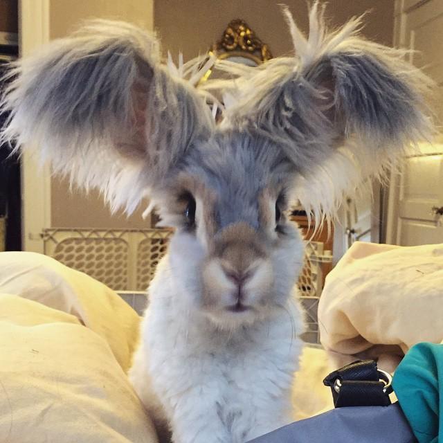 wally coniglio d'angora (5)