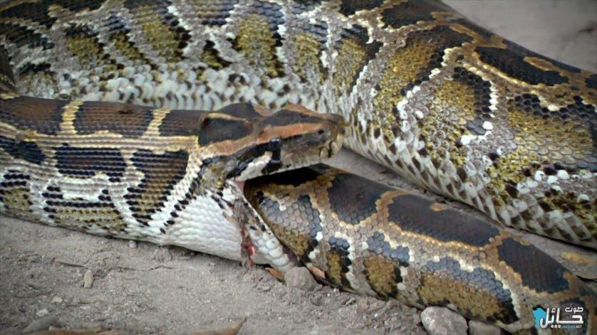 cobras gulosas 6