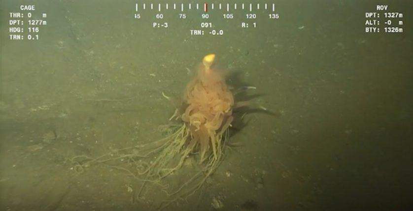 monstro espaguete b conifer