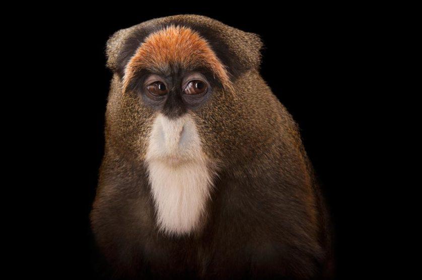Macaco de De Brazza (Cercopithecus neglectus) no jardim zoológico de Omaha