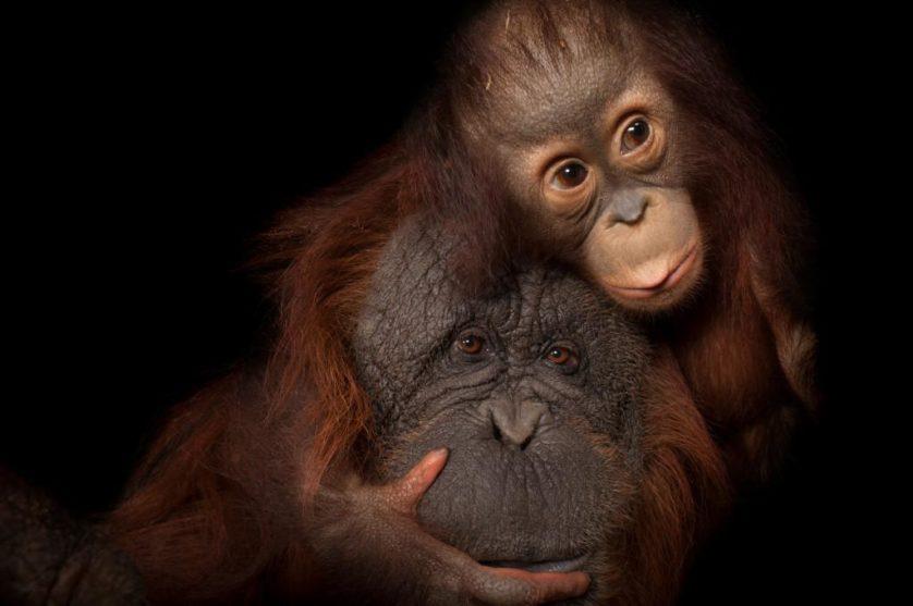 Uma bebê orangotango-de-bornéu (Pongo pygmaeus) chamada Aurora, com sua mãe adotiva, Cheyenne, um cruzamento de orangotango-de-bornéu com orangotango-de-sumatra (Pongo pygmaeus x abelii) no jardim zoológico de Houston