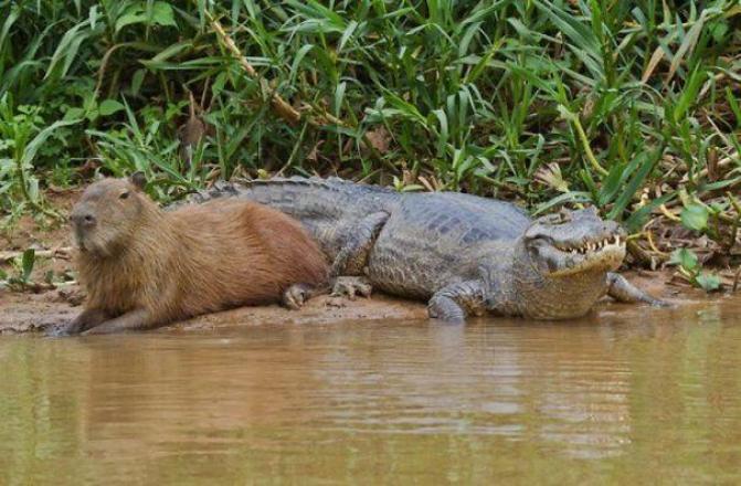 capibara con altri animali (1)