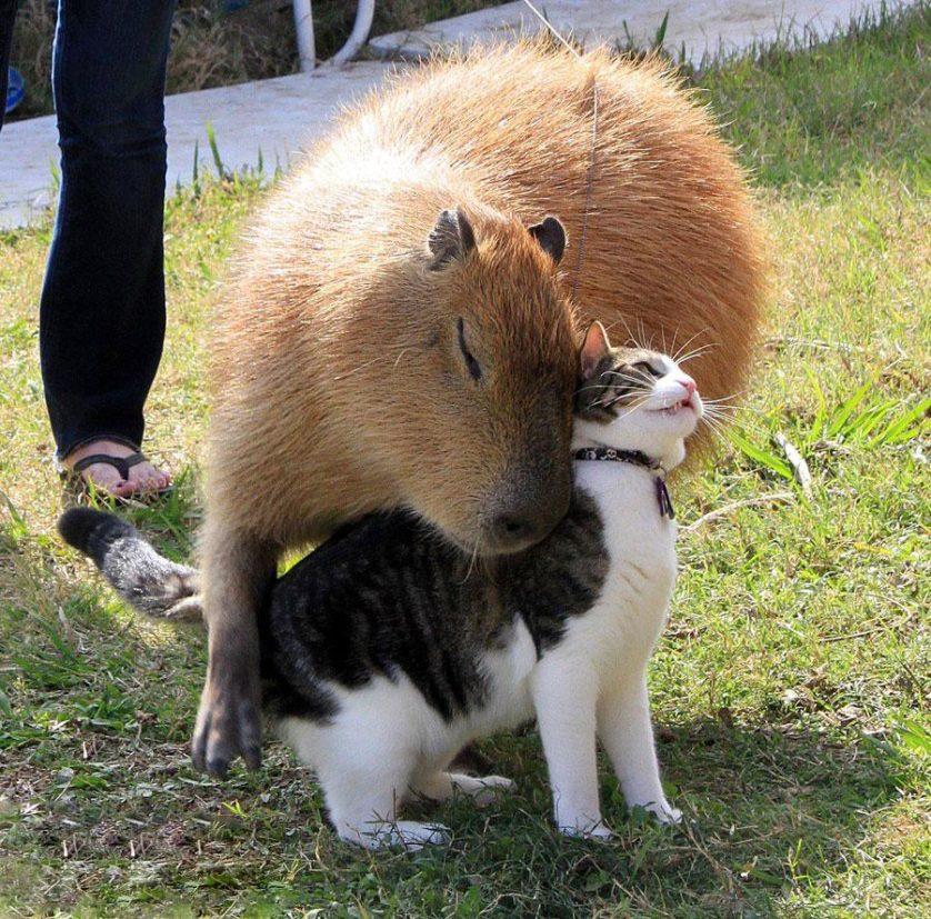 capibara con altri animali (10)