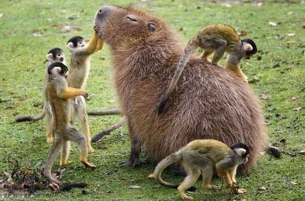 capivara com outros animais (11)