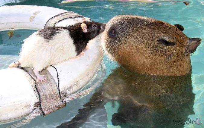 capibara con altri animali (2)