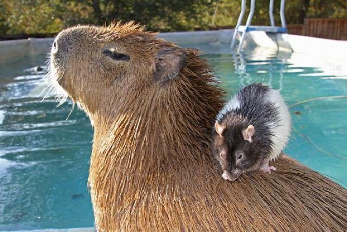 capibara con altri animali (3)