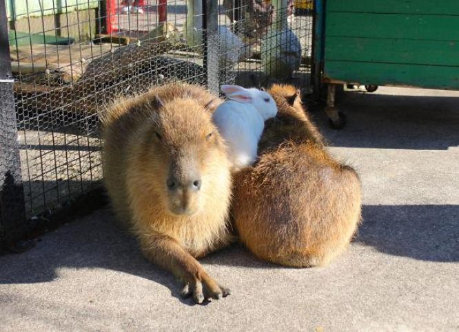 capibara con altri animali (4)