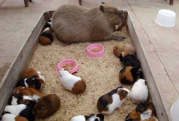 capivara com outros animais (7)