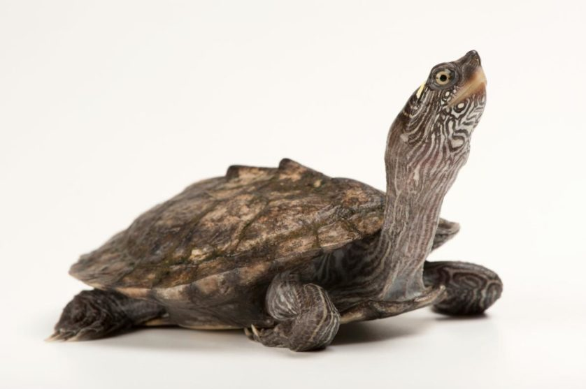 Graptemys pseudogeographica, a falsa tartaruga mapa, tem linhas na sua casca, mas elas não levam a lugar nenhum