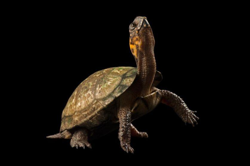 Gryptemys muhlembergii, uma tartaruga ameaçada que vive na região leste dos EUA
