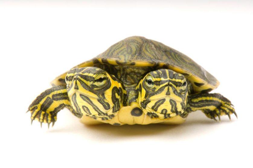 Trachemys scripta scripta, com duas cabeças, uma tartaruga que é encontrada nas costas do sul dos EUA
