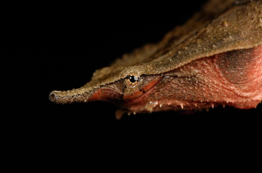 Chelus fimbriatus, a tartaruga mata mata do Madagáscar.