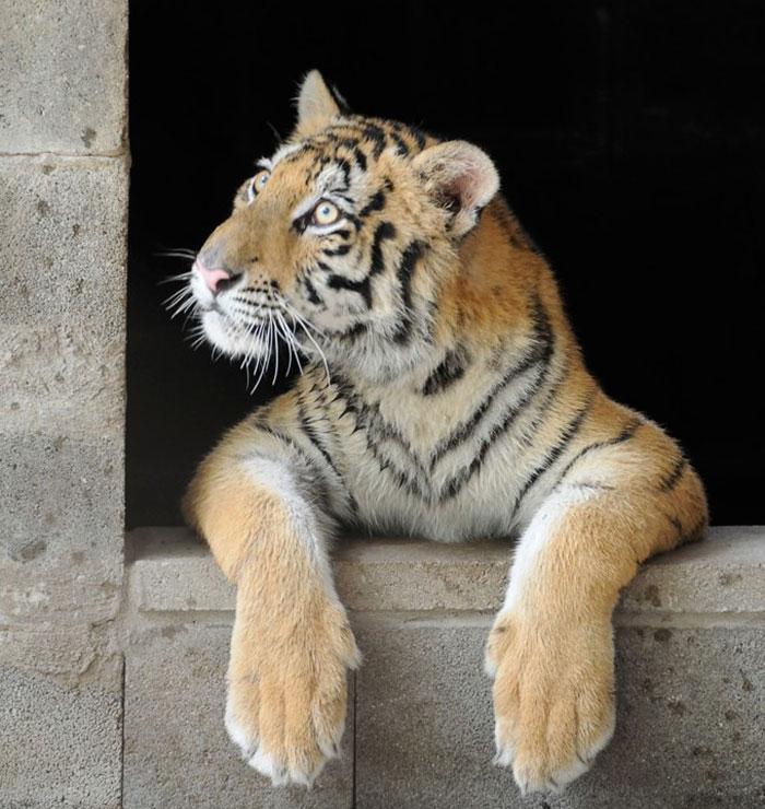 tigresa resgatada (7)