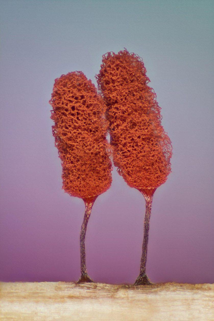 foto-microscopica-fungo