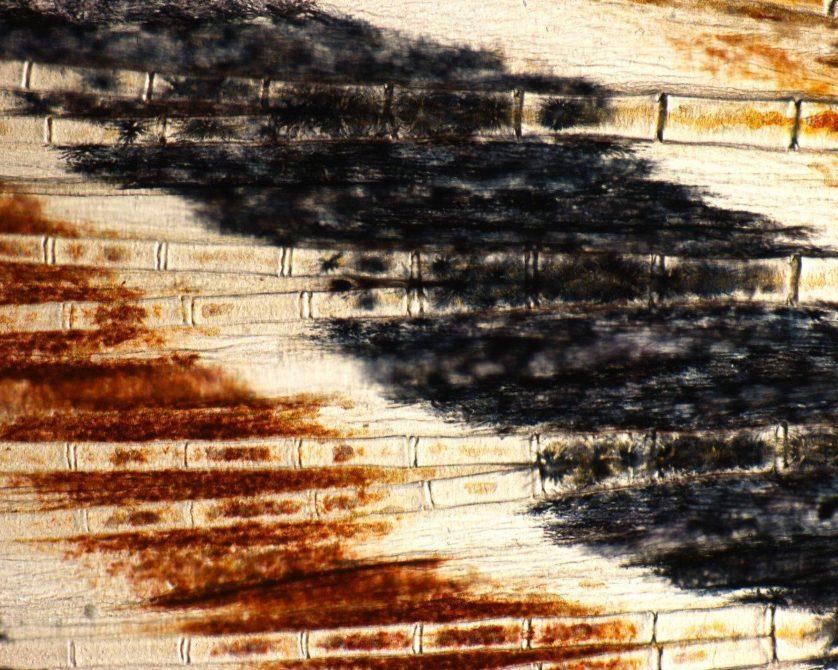 foto-microscopica-nadadeira-peixe-zebra