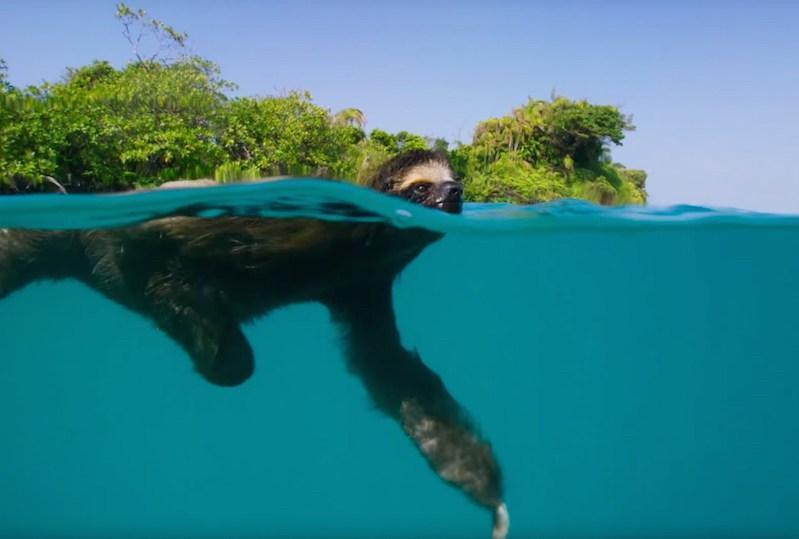 preguica-nadando