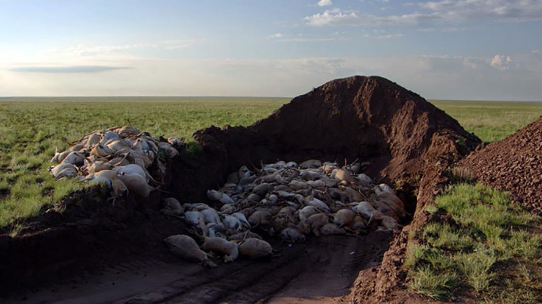 Foi por isso que 200 mil antílopes ameaçados morreram repentinamente no Cazaquistão — VIVIMETALIUN