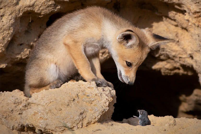 Foto engraçada de uma raposa e um rato