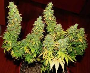 marijuana yields