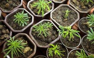 cannabis phenotypes