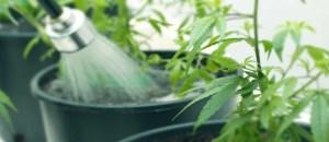 flushing cannabis plants