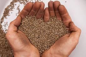 industrial hemp seeds