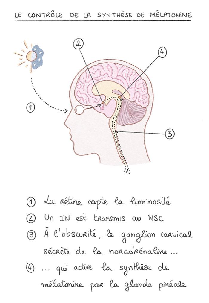 Synthèse de la mélatonine par Emeline Courcelle.