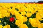Een rode tulp in veld van gele tulpen
