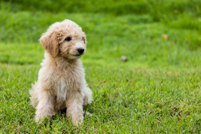 Are Goldendoodles Hypoallergenic Dogs